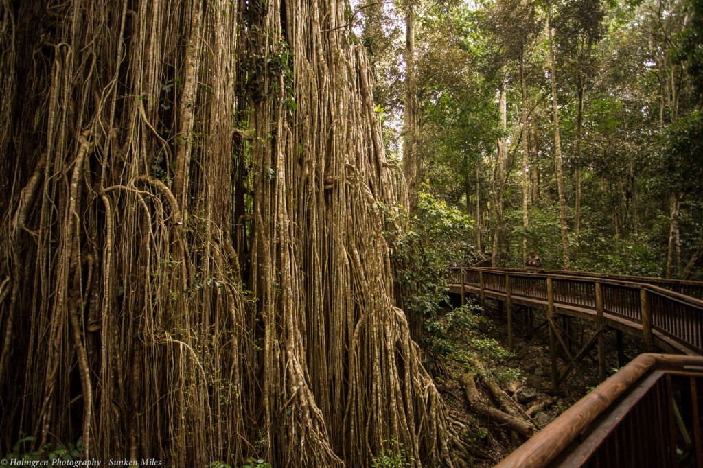 The enormous Curtain Fig near Yungaburra