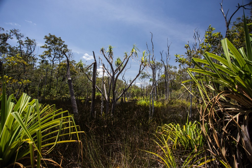 Pandanas palms in a swamp